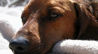 How to Make a Home Remedy for Itchy Dog Ears | eHow
