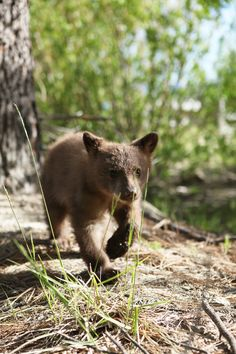 Our own Carinne Knight shot this last week in Tahoe Vista. Check out our FB page on 6/12 for an album of this little bear and its two siblings. (Warning: High Cute Quotient)