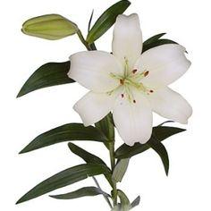 FiftyFlowers.com - White Hybrid Lily