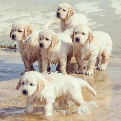 Golden pups