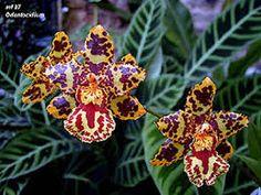 """""""les plus belles orchidées de la réunion"""""""