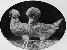 Italian Chickens Breeds - part three