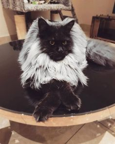Black maine coon cat with white mane Pretty Cats, Beautiful Cats, Animals Beautiful, Cute Baby Animals, Animals And Pets, Animals Images, Kittens Cutest, Cats And Kittens, Exotic Cats