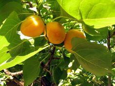 Backyard Edibles - Apricot Tree