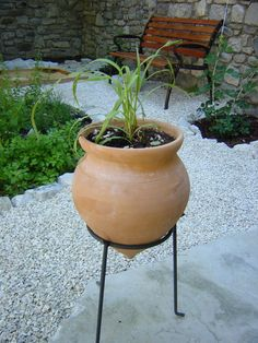 Lemon grass in a pot