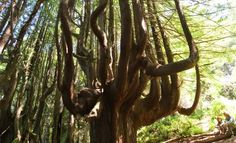 Candelabra Trees, Shady Dell - CA   Roadtrippers