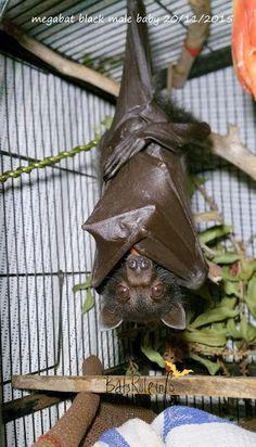 megabat black male baby flying fox fruit bat 20/11/2015 - Bats_Rule!