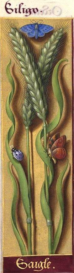 Saigle - Siligo (Secale cereale L. = seigle) -- Grandes Heures d'Anne de Bretagne, BNF, Ms Latin 9474, 1503-1508, f°94v