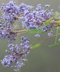 marie bleu wild lilac