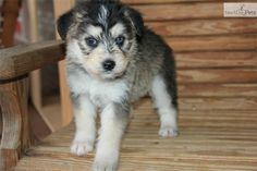 siberpoo sounds dirty, but a husky-poodle mix is adorabl :)