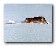 This wall poster Bring a nice change your living room or entryway which enhance your décor and add a style to your home. This poster depicts the image of Cougar chasing a rabbit in a snow field which is sure to catch lot of attention. It will be a great addition for your home décor especially for any wild animal lover. This poster is made of using high quality papers with a perfect color accuracy which guarantees that your posters last a lifetime without fading.