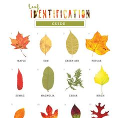A leaf identification guide for children to enjoy in the fall.