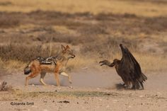 A vulture and a jackal face off in the Kgalagadi
