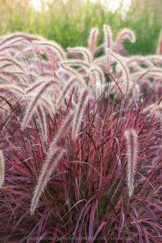 Purple Fountain Grass (Pennisetum setacum rubrum 'Fireworks') - naturescolours.com.au