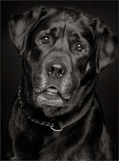 Black Labrador Retriever #LabradorRetriever #DogNames
