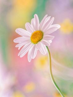 Daisy with pastel backdrop