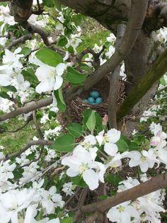 Apfelblüte mit Vogelnest