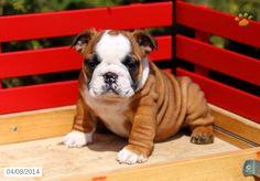 English Bulldog Puppy for Sale in Pennsylvania Boxer Bulldog, Bulldog Puppies For Sale, Cute Dogs And Puppies, Pet Dogs, Doggies, English Bulldog Care, English Bulldog Puppies, Fierce Animals, Cute Animals