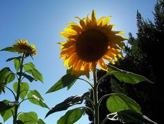 Grow Sunflowers in your garden--a truly native American plant that's pretty and practical.
