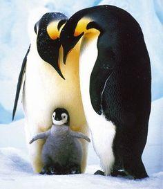pinguin - Google-Suche