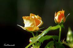 Golden rosebud