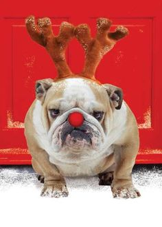 Bulldog with two eyes! Love my one eyed bulldog! I Love Dogs, Puppy Love, Cute Dogs, Funny Dogs, Funny Animals, Cute Animals, Animals Dog, Tier Fotos, Christmas Dog