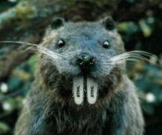 Stihl brand beaver chainsaw.