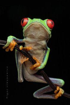 green frog, black background  ... by Igor Siwanowicz