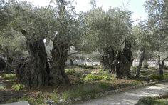Getsemani garden, Jerusalem.
