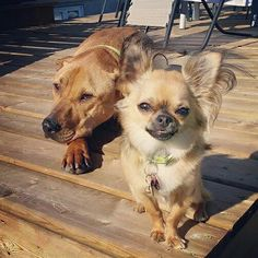 Chihuahua Love, Flora And Fauna, Chihuahuas, Pet Birds, Doggies, Puppies, Babies, Board, Sweet