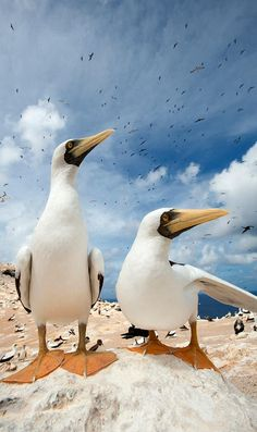 Masked Boobys on Boatswain Bird Island -- by Jeremy Holden....didn't know God made these, first time I see this bird/duck?