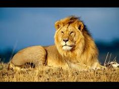 Image result for lion wallpaper
