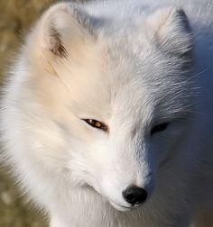 Arctic Fox - Photo by Örvar Atli Þorgeirsson.