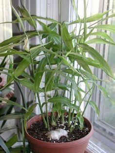 ingwer pflanze pflanzenideen topfpflanzen