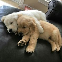 Cute Baby Dogs, Cute Dogs And Puppies, Doggies, Lab Puppies, Fluffy Puppies, Images Of Puppies, Big Dogs, Samoyed Puppies, Baby Pets