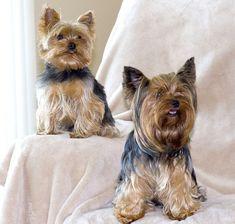 Dogs #Yorkshire Terrier www.luxurybyvera.com #yorkshireterrier