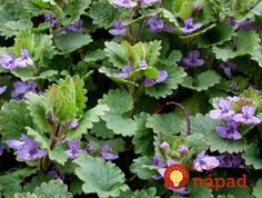 Buy Glechoma Hederacea Ground Ivy groundcover seeds from our huge selection of ground covers. Ground Ivy is easy to grow. Ivy Plants, Patio Plants, California Drought, Garden Nursery, Wild Edibles, Edible Plants, Drought Tolerant, Medicinal Plants, Herbal Medicine