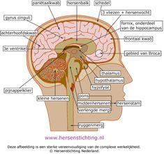 Afbeelding van de anatomie hersenen