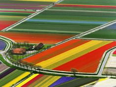 Tulip fields in Amsterdam