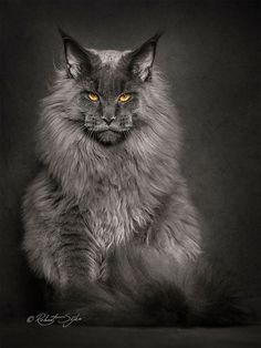 Photographer Robert Sijka sheds new light on the Maine Coon, the largest breed of domesticated felines.Tap the link to check out great cat products we have for your little feline friend! Gato Maine, Chat Maine Coon, Maine Coon Kittens, Cats And Kittens, Tabby Cats, Pretty Cats, Beautiful Cats, Animals Beautiful, Cute Animals
