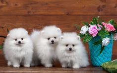 Herunterladen hintergrundbild white pomeranian, welpen, hunde, spitz, niedliche tiere