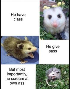 Oppossums are very intelligent, docile and helpful: they eat insects that are harmful to humans