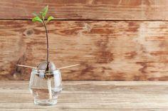 Avocados auf der Fensterbank selbst züchten. Wir zeigen dir, wie das funktioniert!