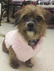 Penelope is an adoptable Terrier Dog in Altoona, PA. Penelope is a shy 5 yr old Terrier Mix. She is brown with Beautiful sad Brown Eyes. She was found in the city of Altoona on 10th Street and 3rd Ave...LOVE HER!!