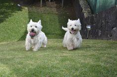Happy westies. Lloyd & Nico