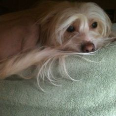 Chinese crested -Stella