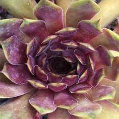 Types Of Succulents Plants, Cacti And Succulents, Planting Succulents, Sempervivum, Die Macher, Succulent Images, Outdoor Ideas, Outdoor Gardens, Cloths