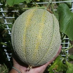 3 weeks from pollination and i finally get to enjoy this jumbo cantaloupe! :) #gardening #melons #cantaloupe #horticulture #outdoors #summer #austin #texas