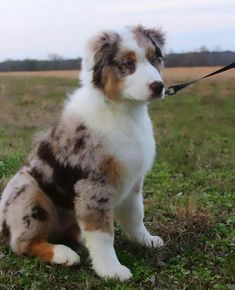 More About The Smart Aussie Puppy Australian Shepherd Dogs, German Shepherd Dogs, Shepherd Puppies, Aussie Puppies, Dogs And Puppies, Doggies, Super Cute Puppies, Cute Dogs, Blue Merle