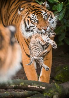 A trio of tiny Sumatran Tiger cubs has made their first public appearance at Chester Zoo.  The four-week-old Tiger triplets were born on January 2nd but have just started to emerge from their den, as their proud mother starts to show them off. See more, learn more: http://www.zooborns.com/zooborns/2015/01/rare-tiger-cubs-venture-out-of-den.html